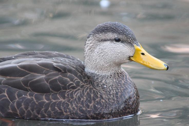American Black Duck1