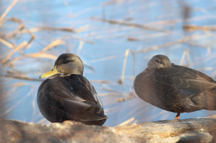 American Black Ducks2