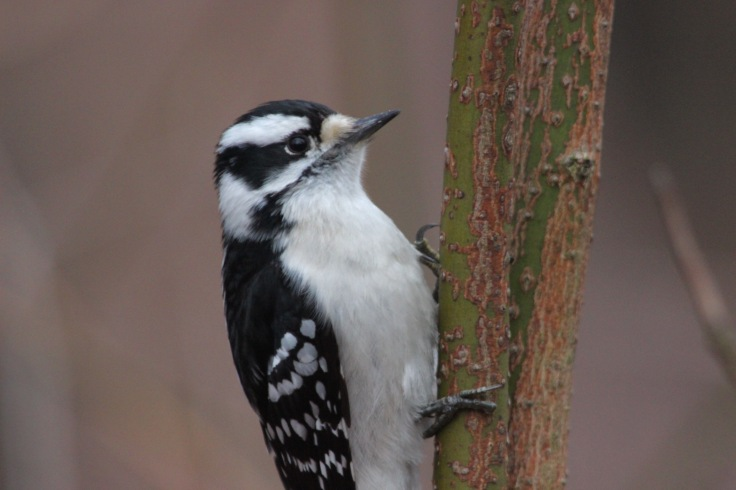 Downy Woodpecker Female (Debbie)