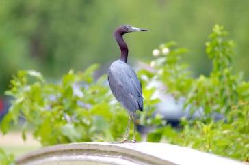 Little Blue Heron1