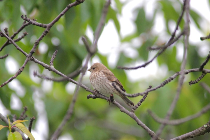 House Finch Female1