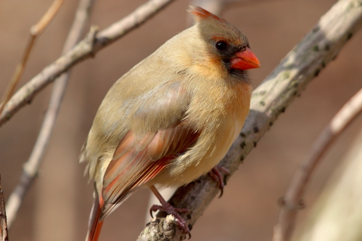 Northern Cardinal Female2