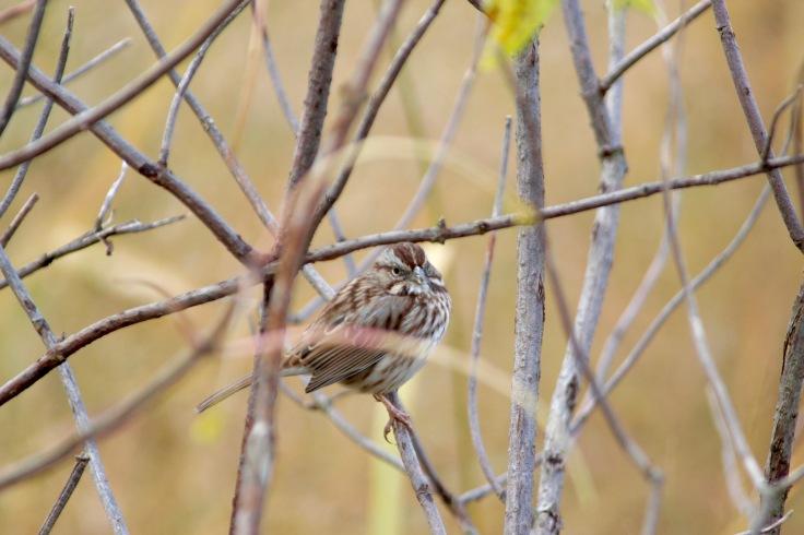 Song Sparrow5