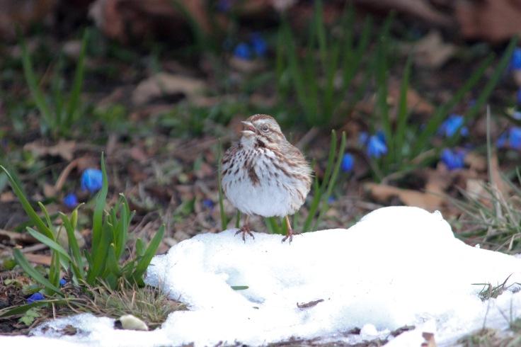 Song Sparrow6