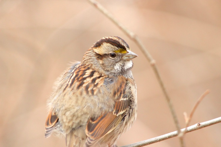 White-throated Sparrow Tan