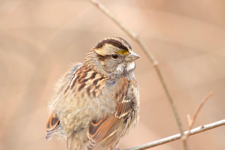 White-throated Sparrow Tan