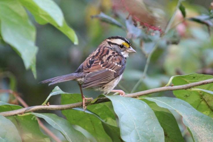 White-throated Sparrow5