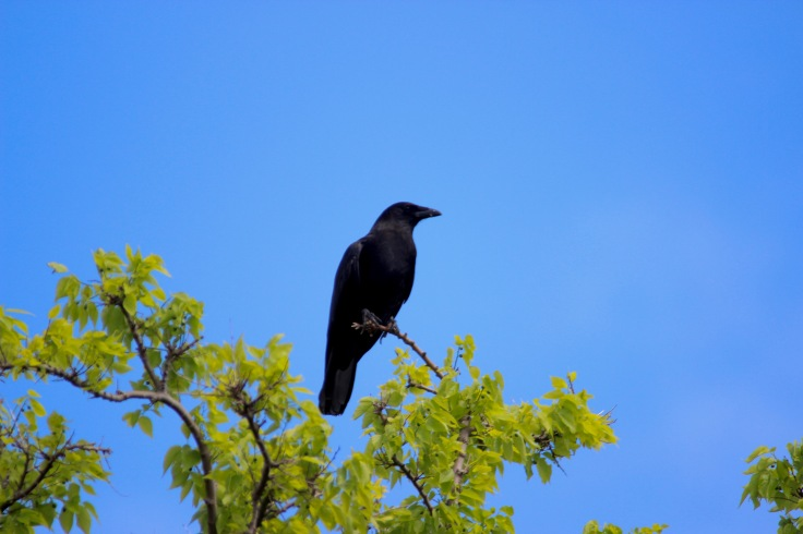 American Crow1