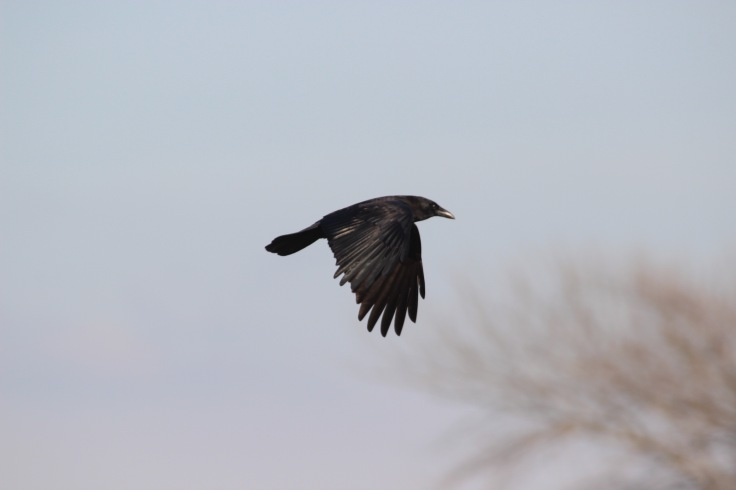 American Crow3