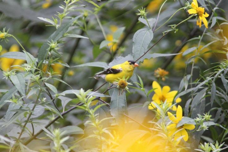 American Goldfinch3