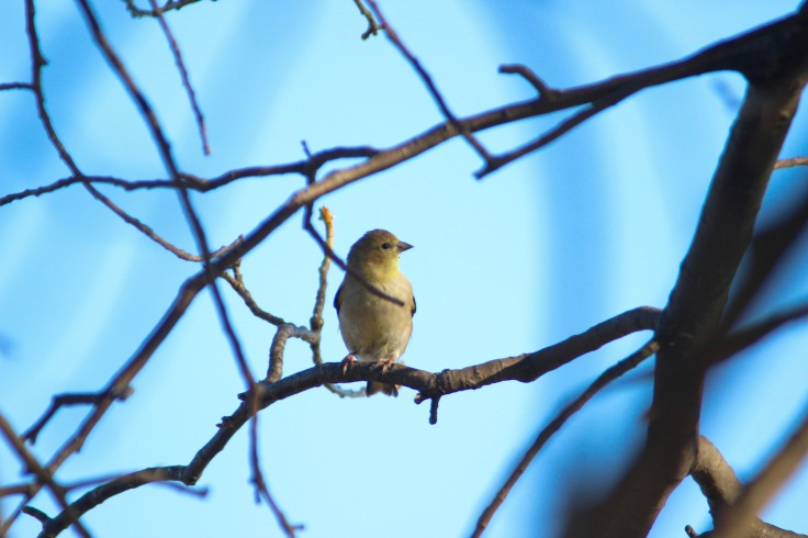 American Goldfinch5