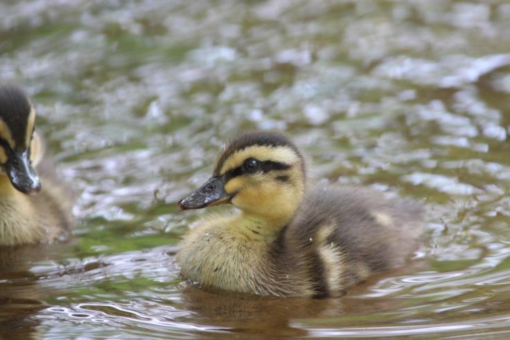 Mallard Duckling1