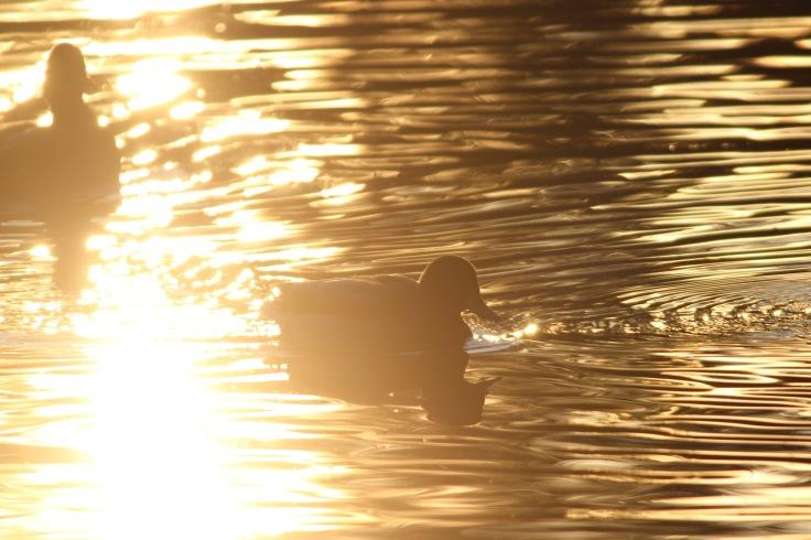 Mallard Sunset