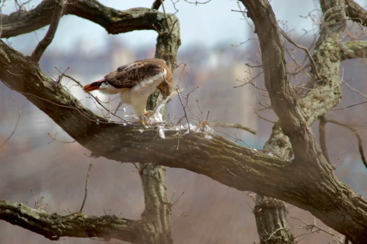 Red-tailed Hawk8