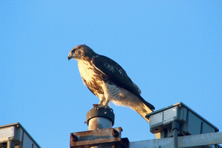 Red-tailed Hawk9