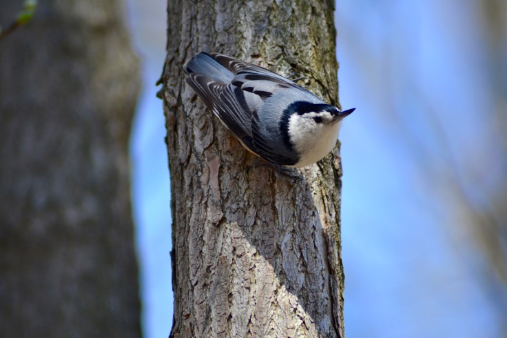 white-breasted nuthatch1