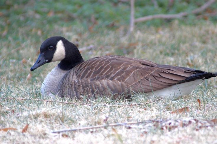 Canada Goose4