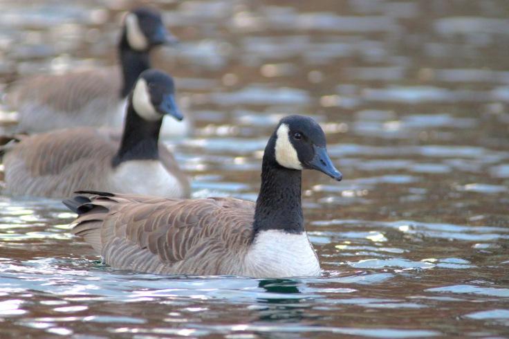 Canada Goose7