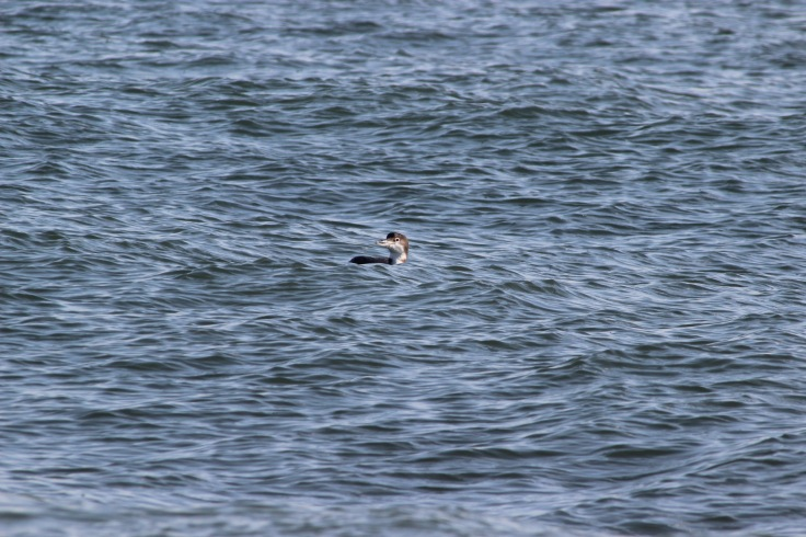 Common Loon1