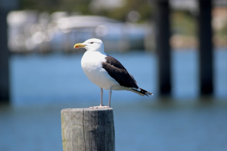 Great Black-backed Gull1