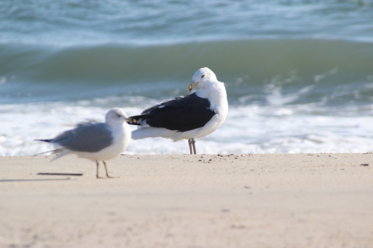 Great Black-backed Gull2
