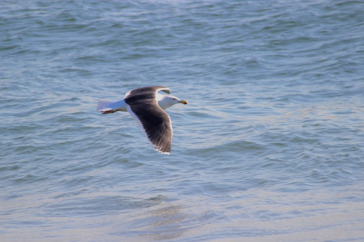Great Black-backed Gull5