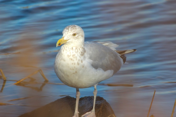 Herring Gull5