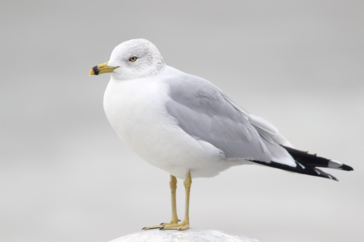 Ring-billed Gull1