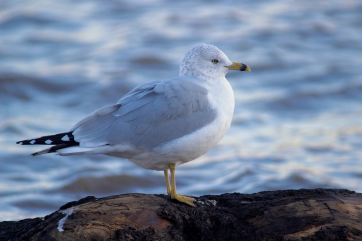 Ring-billed Gull3