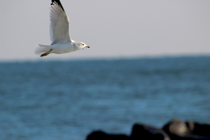 Ring-billed Gull5