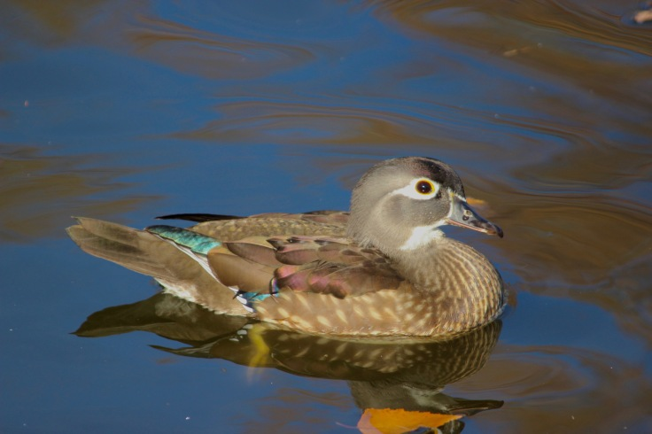Wood Duck Female2