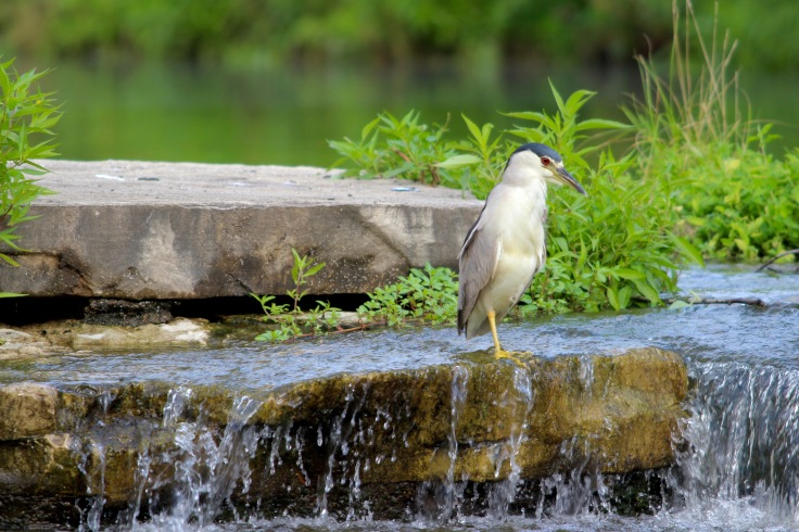 Black-crowned Night Heron1