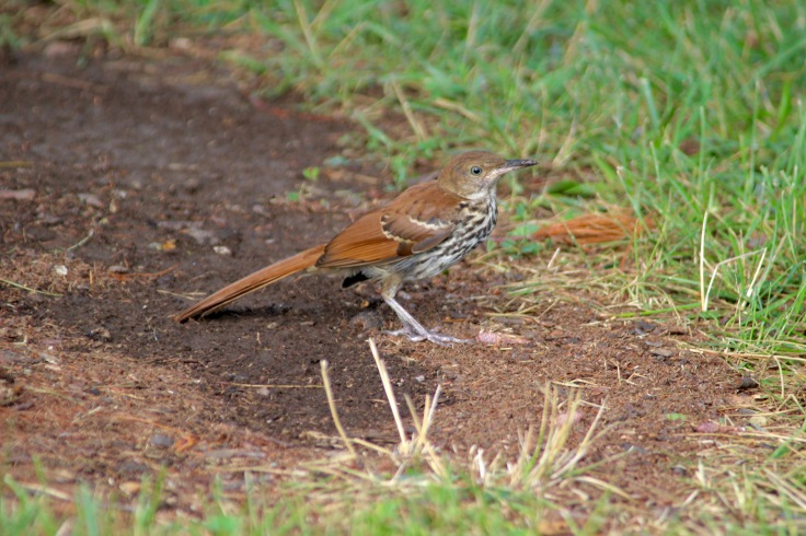 Brown Thrasher1