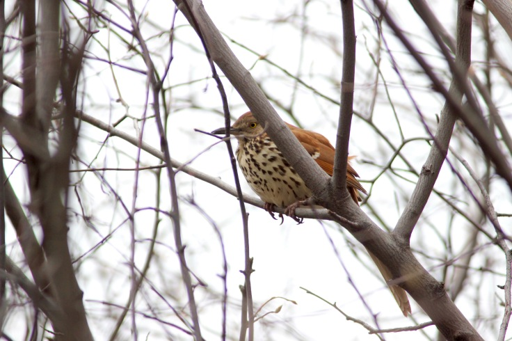 Brown Thrasher4