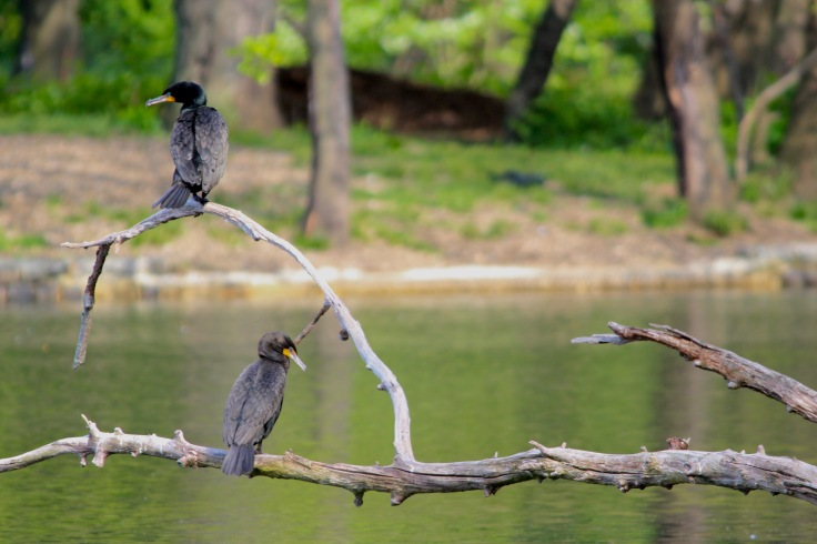 Double-crested Cormorant2