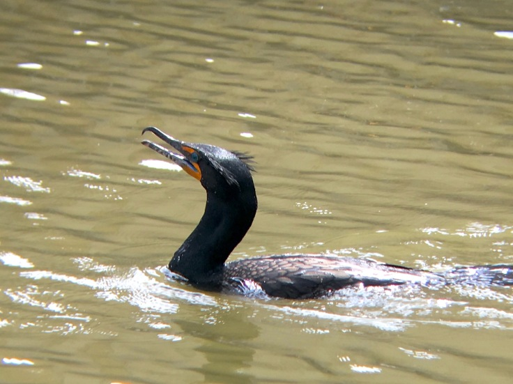 Double-crested Cormorant5