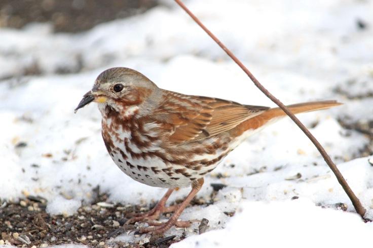 Fox Sparrow2