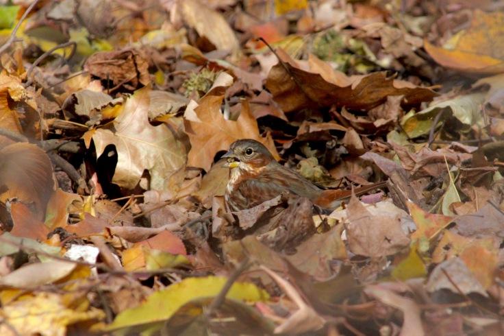 Fox Sparrow4