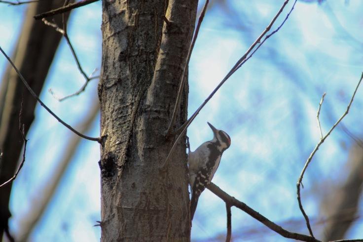 Hairy Woodpecker2