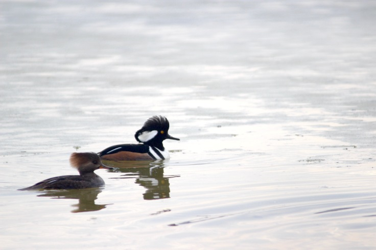 Hooded Merganser2