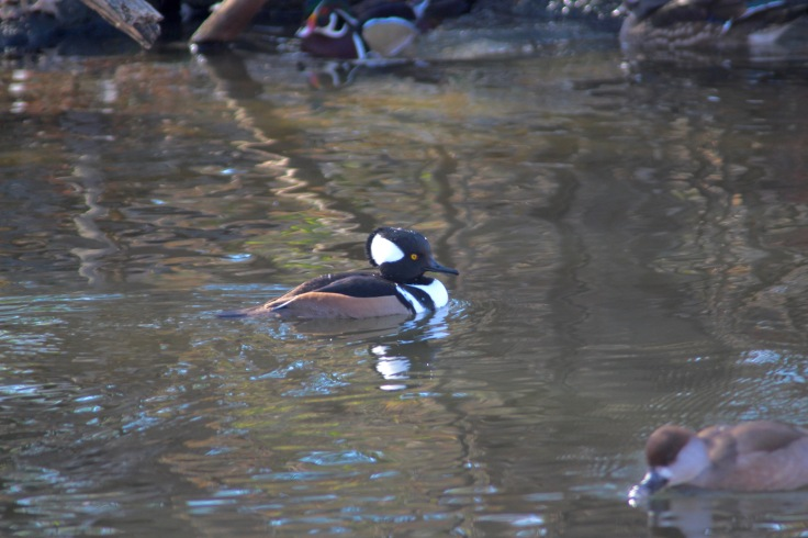 Hooded Merganser4