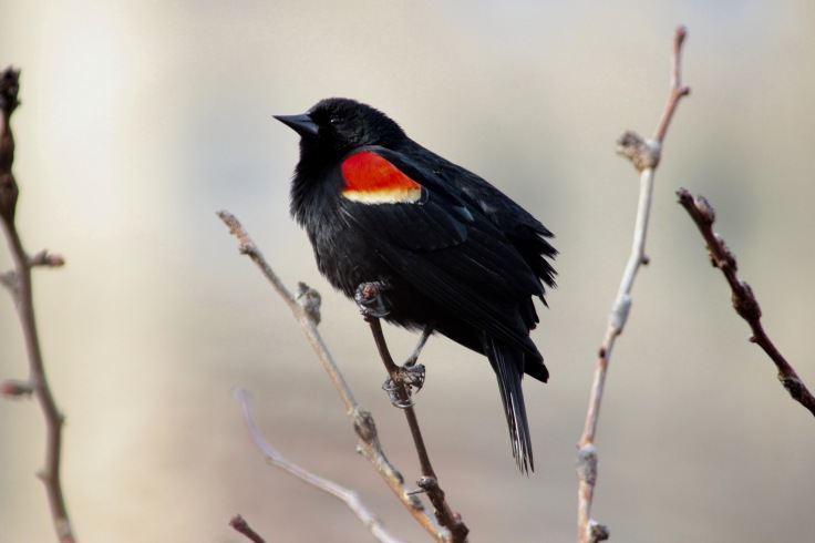 Red-winged Blackbird Male1