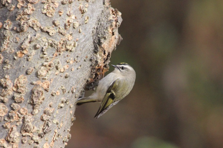 Golden-crowned Kinglet1
