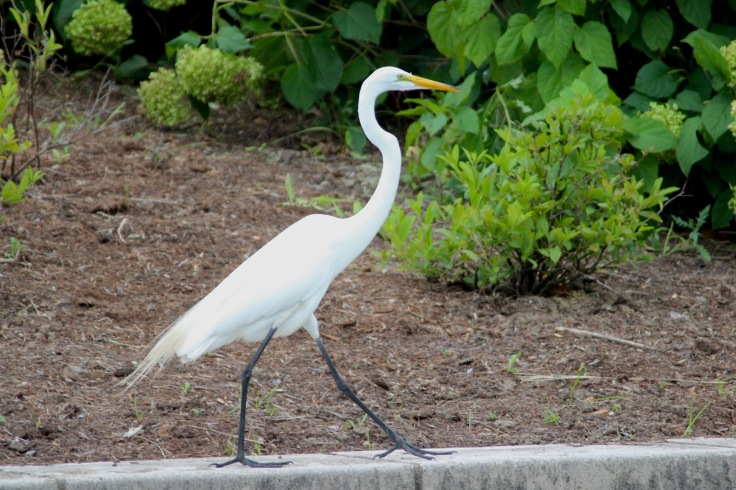 Great Egret4
