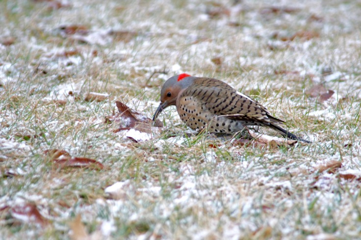Northern Flicker6
