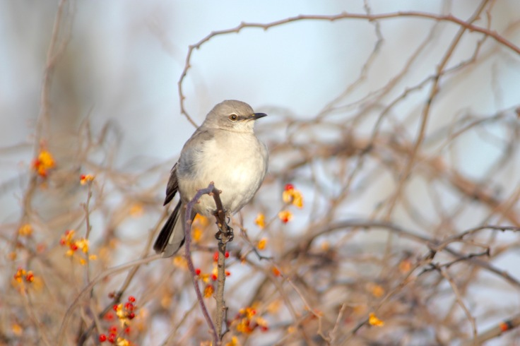 Northern Mockingbird4