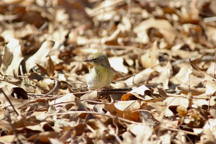 Pine Warbler4