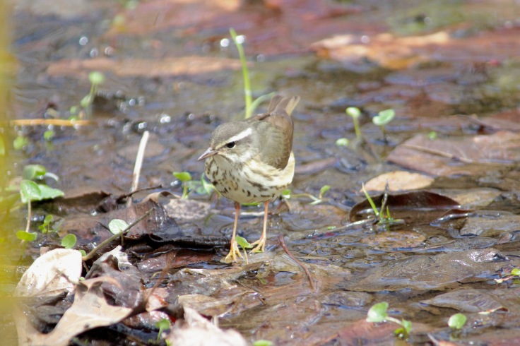 Louisiana Waterthrush2