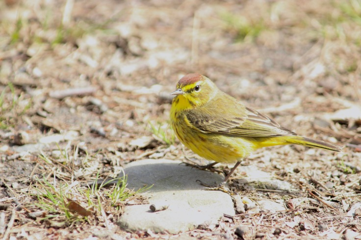 Palm Warbler (yellow)1