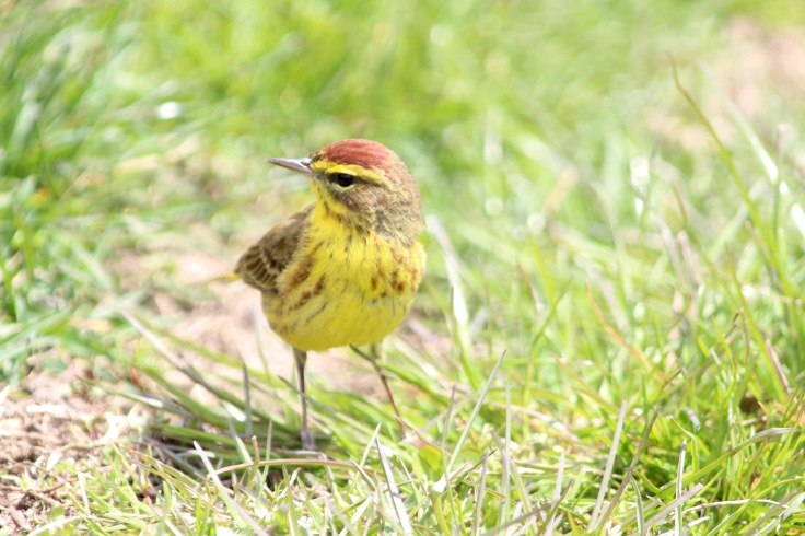 Palm Warbler (yellow)2